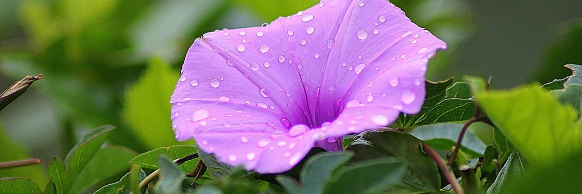 Your Step-by-Step Guide to Planting Morning Glory